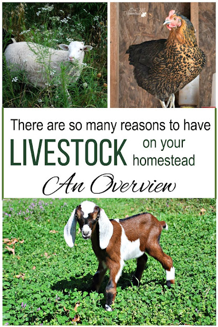 Why you should have small livestock on your homestead.