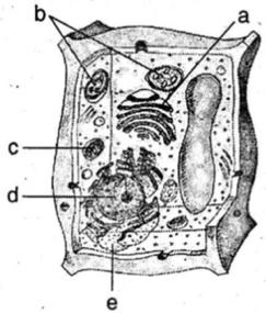 Sebutkan Organel Organel Yang Ditunjukkan Pada Gambar Disamping Beserta Fungsinya Masing Masing Mas Dayat