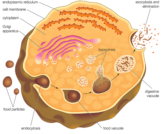 Roles of Endocytosis and Exocytosis