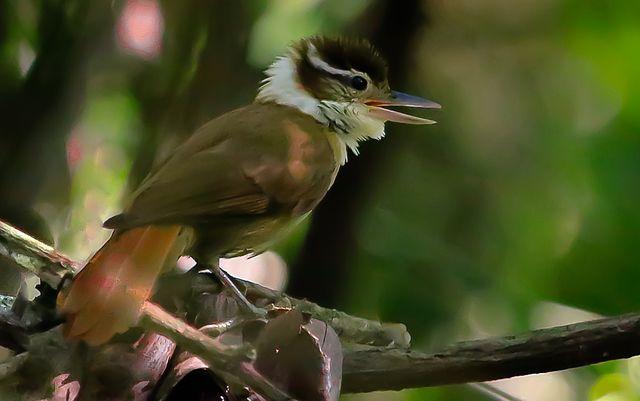 Pássaro Trepador-Coleira (Anabazenops fuscus)