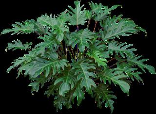 Philodendrons | Tukang Taman