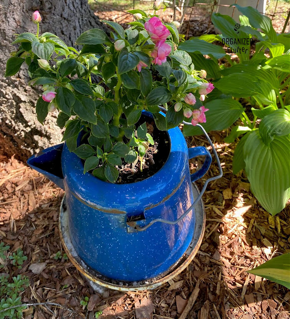 Photo of impatiens planted in a coffeepot