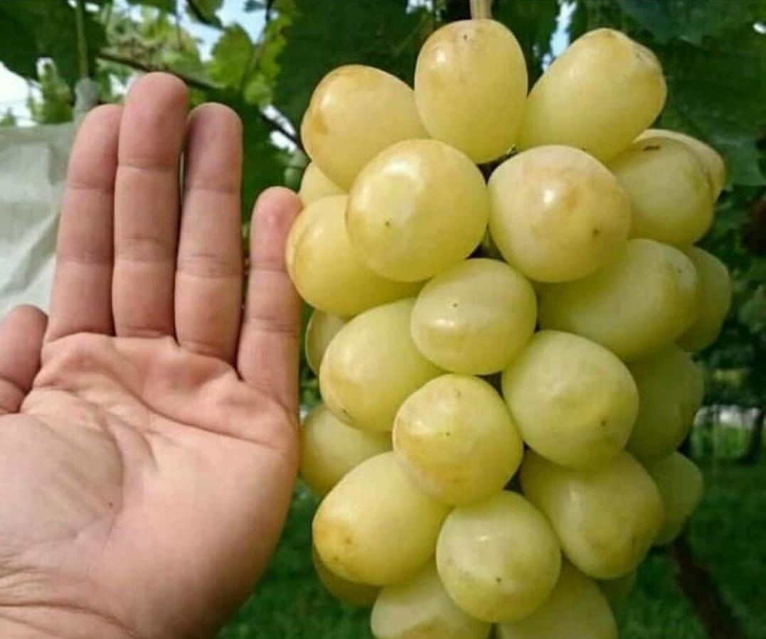 Trend 2021! Bibit Tanaman Buah Anggur Import Treasure varietas Siap Berbuah Kota Surabaya #Jual bibit buah
