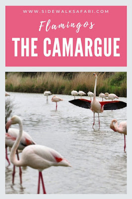 Camargue Flamingos in southwest France