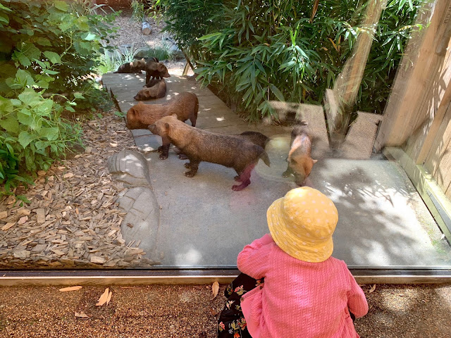 Toddler watching the bush dogs while waiting for the land train at colchester zoo