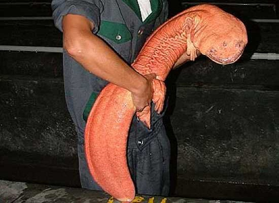 chinese-giant-salamander-السلمندر الصيني العملاق