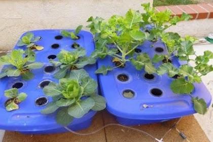 Cara Menanam Brokoli Hidroponik Sistem Wick