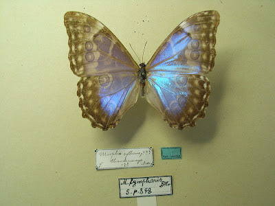 Morpho lympharis