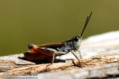 Omocestus Haemorrhoidalis (fotografia-de-naturaleza.blogspot.com)