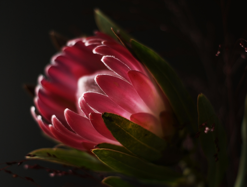 Blog + Fotografie by it's me! - Blüte einer Protea