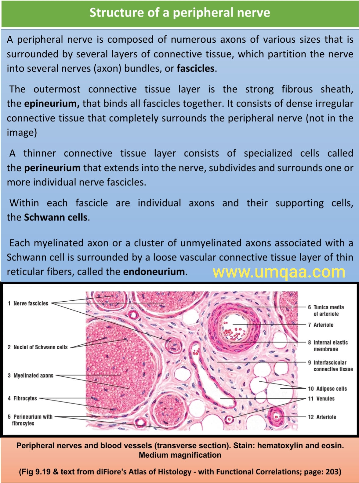 thickened peripheral nerve