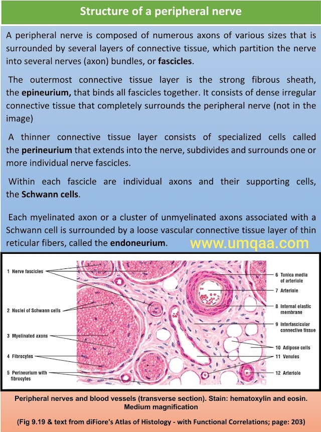 What are the causes of thickened peripheral nerve?