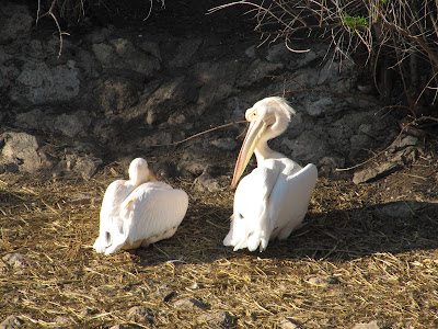 pelicani zoo Chișinău