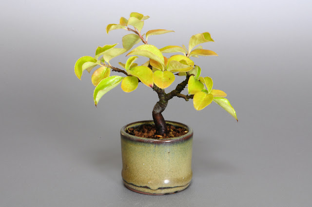 カリン-G1(花梨盆栽)Chaenomeles sinensis bonsai
