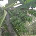 Heboh, Satu Pohon Pisang Berbuah Tiga Tandan