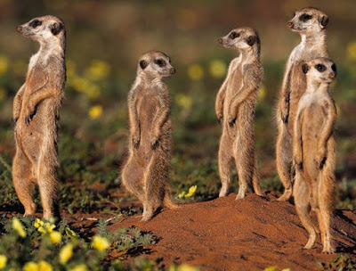 Meerkat - Animals That Start With M