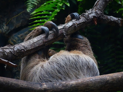 close up of the toes and claws of this sloth