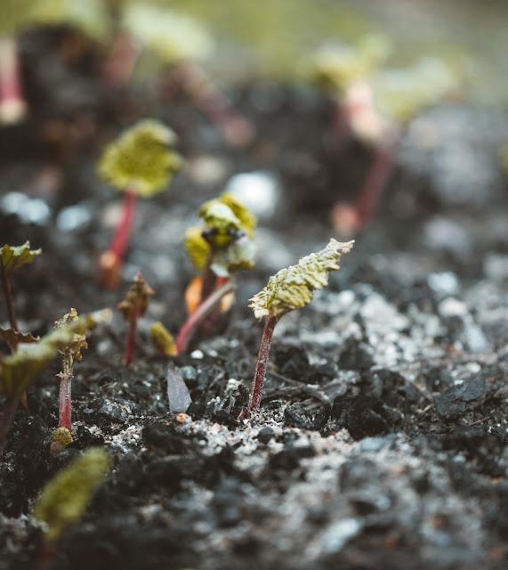 Rhabarber-Jungpflanze