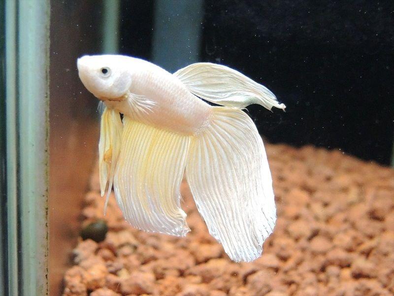 Image The Lost Secret of Yellow Betta Fish