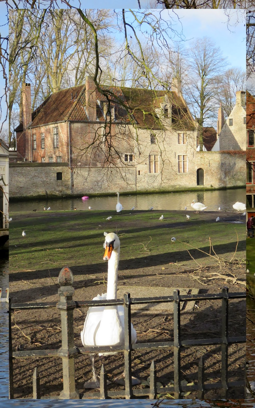 Swan in Bruges, Belgium at Christmas