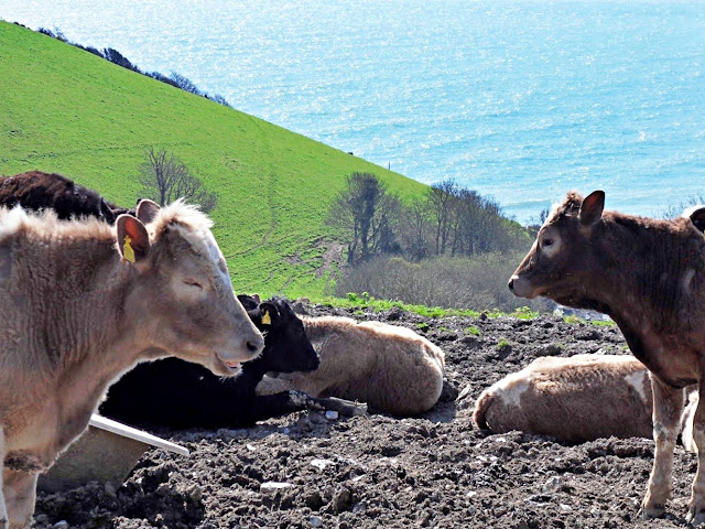 Cattle in Cornwall with great view
