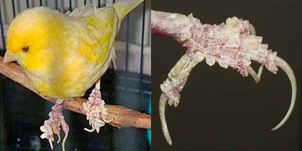 obat jamur burung kenari