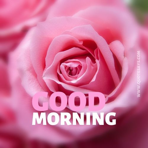 Good morning pink rose flower
