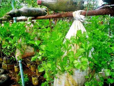 bertani sayur-mayur memanfaatkan karung bekas