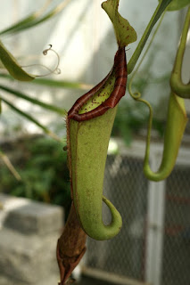 Nepenthes mirabilis - Plante carnivore