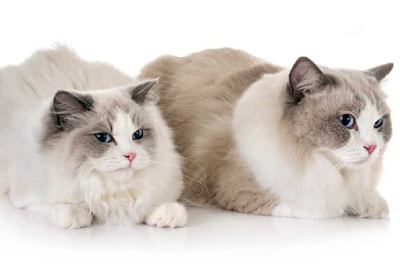 Gatos domésticos raza pura