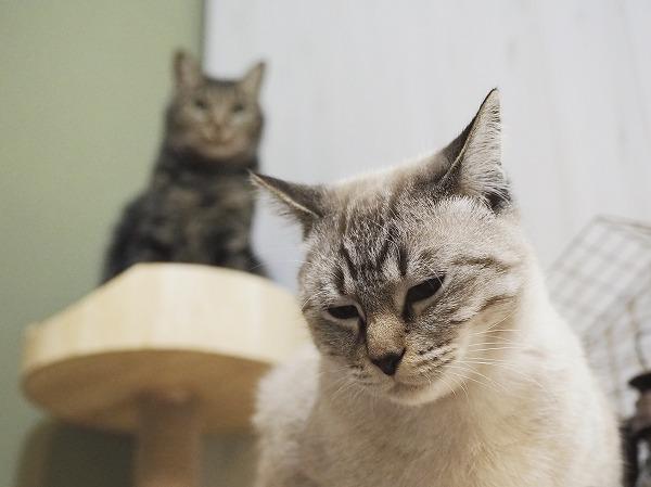 しょんぼり顔のシャムトラ猫