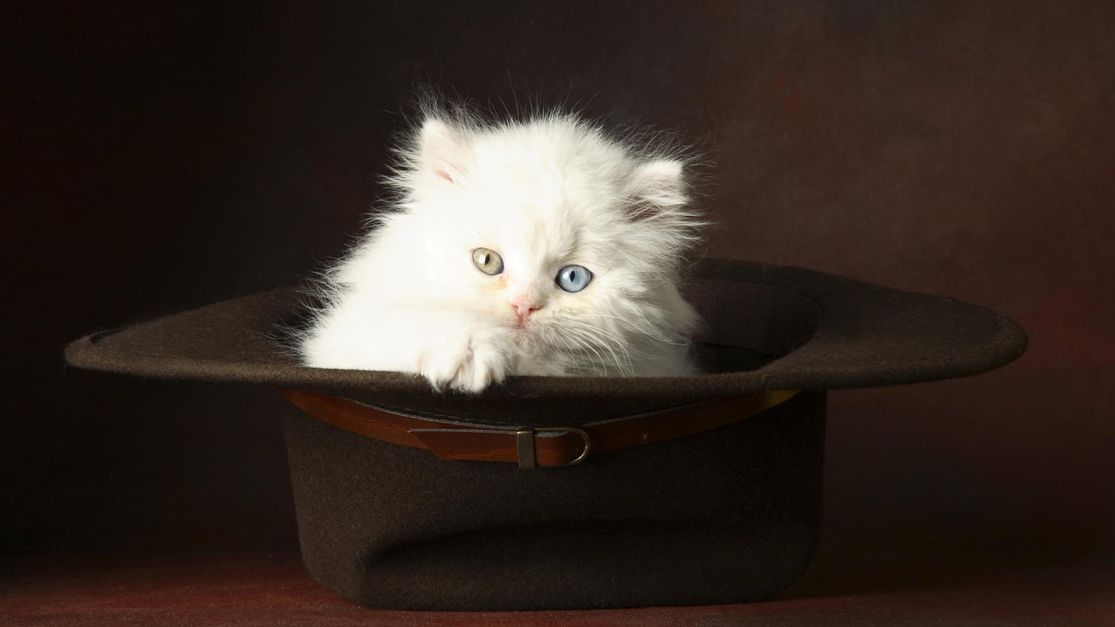 cute white cats hd - photo #41
