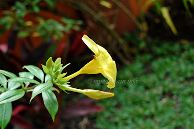 Simplymarrimye's Yellow is the Color of MIND and Intellect / Golden Trumpet (Allamanda Cathartica) - image 2