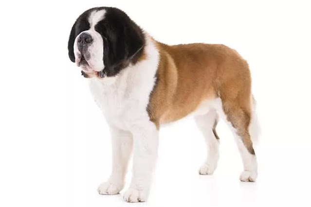 Most expensive dog breeds - Saint Bernard