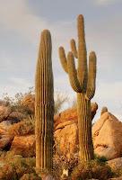 Uzun çöl kaktüsleri