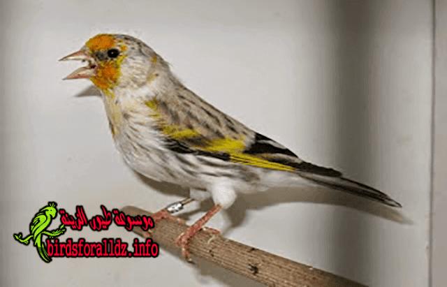 البندوق و النغل و المايسترو أو المسيتو و هجين الحسون