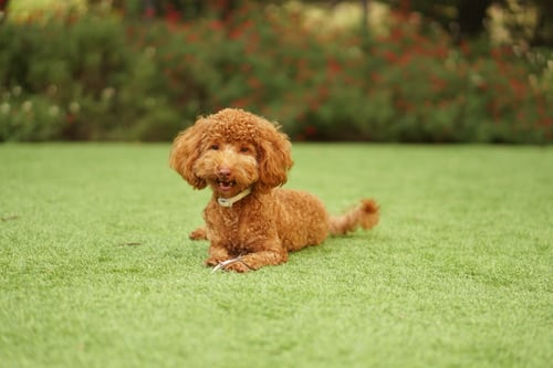 THE MOST INTELLIGENT POODLE IN DOGS