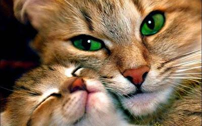 صور صور قطط كيوت 2020 خلفيات قطط جميلة جدا beautiful-cats-9.jpg
