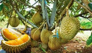 Bisnis Durian Musang King Peluang Usaha yang Menjanjikan