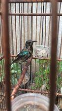 king kolibri ninja