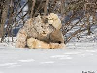 7 Spesies Kucing Liar Langka Yang Mungkin Belum Pernah Kamu Lihat