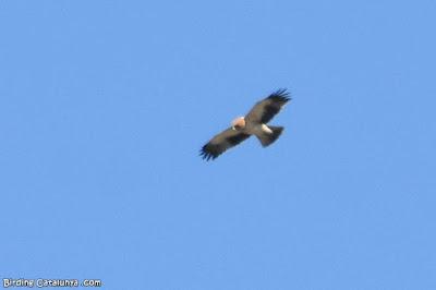 Àguila calçada (Aquila pennata)