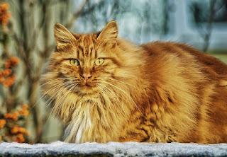 gatto siberiano rosso red siberian cat