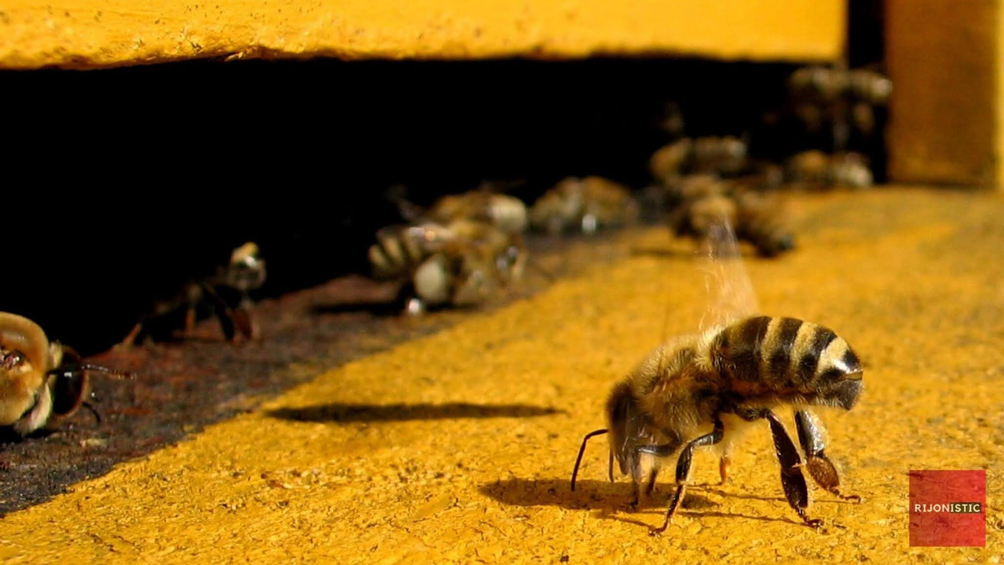Undertaker Bees, Dead Honeybee, Why we don't see any dead bees near hive,