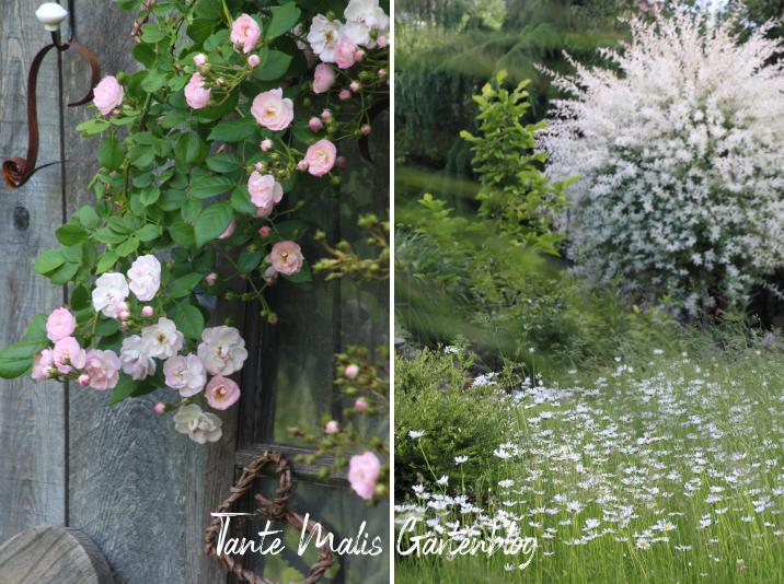 Garten im Juni Ramblerrose zartrosa, Harlekinweide, Margeriten