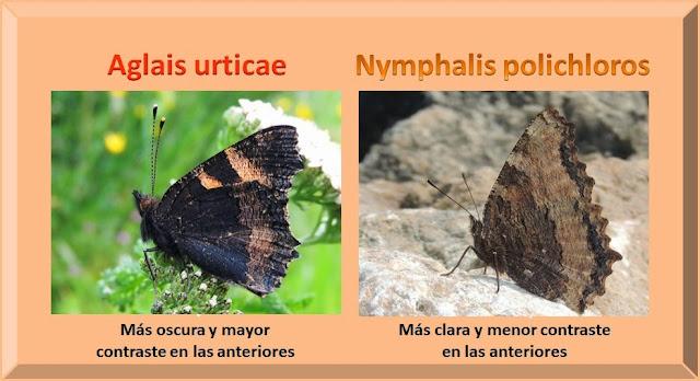 Reverso alar de Aglais urticae y Nymphlis polichloros