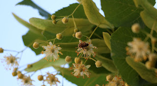 A bee on the Linden blossom