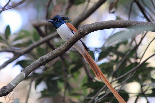 A male Indian paradise flycatcher with an elongated central tail feathers, rufous plumage and glossy black head with crest