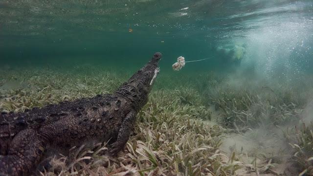 Crocodile misses target footage