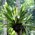 Asplenium Variegated, Pokok Paku Langsuir Berurat Daun Yang Cantik
